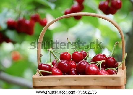 Fresh red cherries on a orchard scene ,Shallow Dof. - stock photo