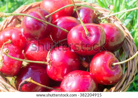 Fresh red cherries on green grass in the sunny garden.
