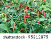 Fresh red chillies growing in the vegetable garden,Thailand - stock photo