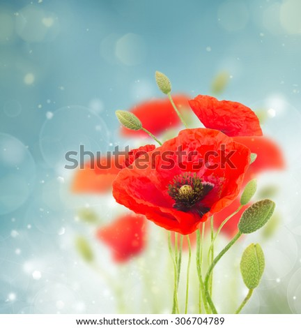 Fresh red poppy flowers with buds  on blue defocused  background - stock photo