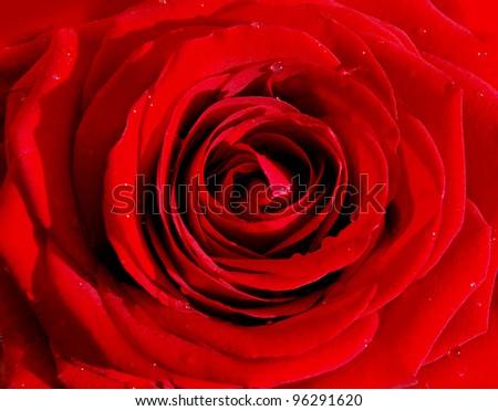 Fresh red rose - stock photo