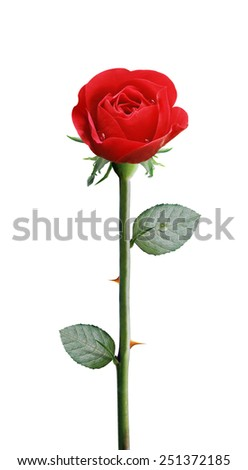 fresh red rose isolated on white background,, clipping path and alpha channel included. - stock photo