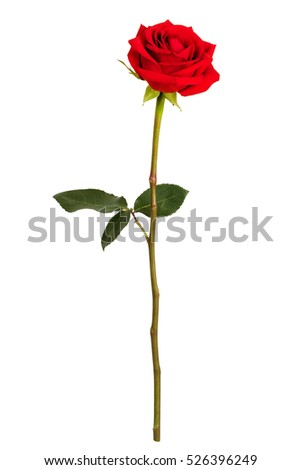 Fresh red rose on a white background