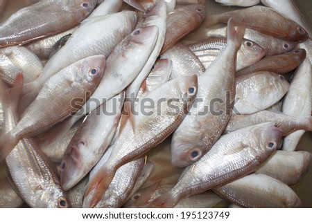 Fresh Red Snapper fish at seafood market - stock photo