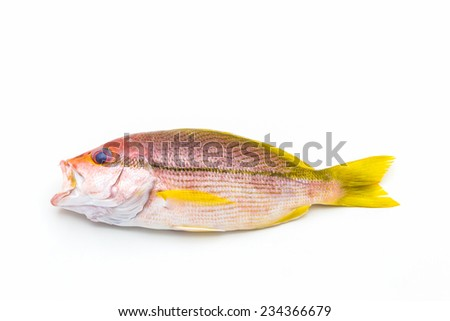 Fresh Red Snapper Fish On White Background . - stock photo