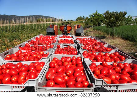 fresh red tomatoes loaded on tractor in green field - stock photo