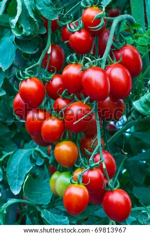 Fresh red tomatoes on the plant