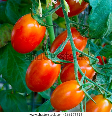 fresh red tomatoes still on the plant - stock photo