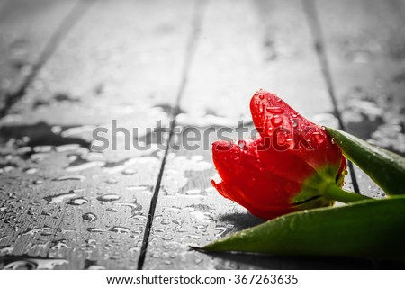 Fresh red tulip flower on wood. Wet, morning dew. Spring concept of romantic love, Valentine's Day, but may also be heartbreak - stock photo