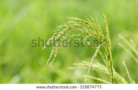 Fresh rice paddy in the rice field farm in Nigeria - stock photo