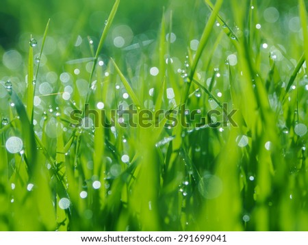 Fresh rice seed with water drops , texter backgound - stock photo