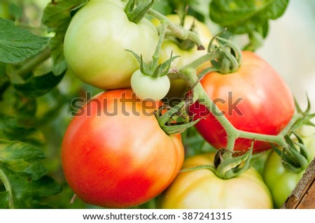 Fresh ripe and unripe tomatoes at greenhose - stock photo