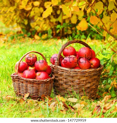 Fresh ripe apples in the basket. Picture on theme autumn at the bio garden.