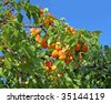 Fresh ripe apricots on tree - stock photo