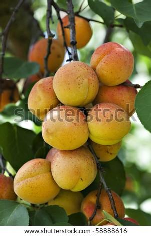 Fresh ripe apricots on tree - stock photo