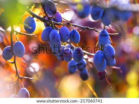 Fresh ripe blue plums on tree in autumn - stock photo