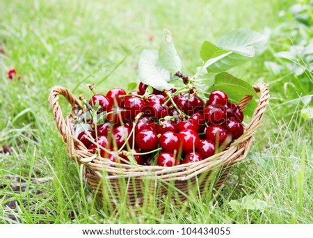 Fresh Ripe Cherries in Basket in Grass