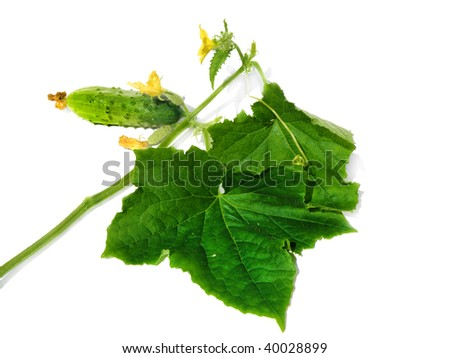 fresh ripe cucumber with leaves and flowers