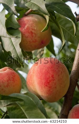 Fresh ripe peaches on tree branch - stock photo