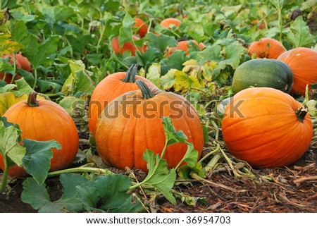 Fresh, ripe, pumpkins growing in field. - stock photo