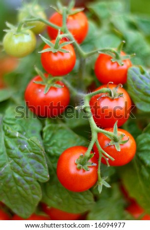 Fresh ripe tomatoes on the plant - stock photo