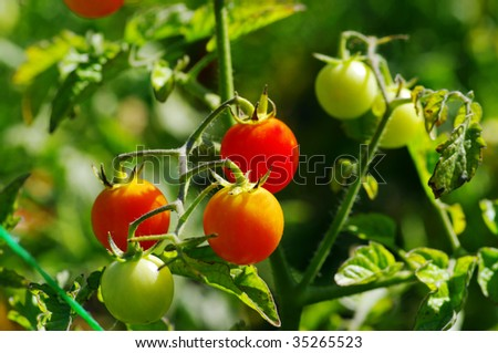 Fresh ripe tomatoes on the plant. Cherry tomatoes