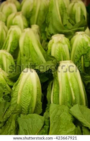 Fresh Romain Green Hearts Salad Lettuce - stock photo