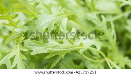fresh roquette/rucola/wild rocket / (type of lettuce) in a glasshouse - stock photo