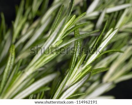 Fresh Rosemary bunches - stock photo