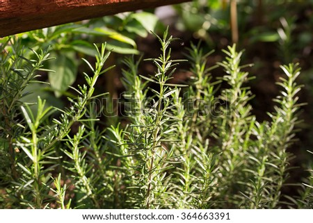 Fresh rosemary herb growing. - stock photo