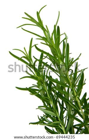 Fresh Rosemary isolated on a white background - stock photo