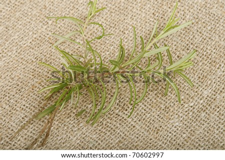 Fresh rosemary on canvas background.