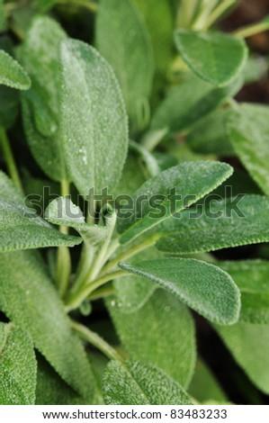 Fresh sage in the herb garden - stock photo