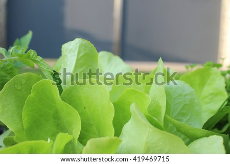 fresh salad in vegetable garden - stock photo