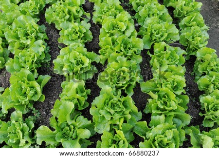 Fresh salad lettuce - stock photo