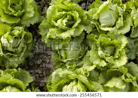 Fresh salad lettuce in a field   - stock photo