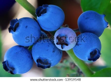 Fresh Shaded Blueberries Ripening On Bush - stock photo