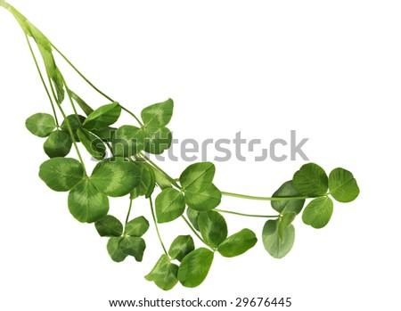 Fresh Shamrock plants isolated on white background - stock photo