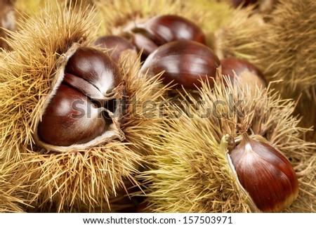 Fresh shiny chestnuts with open husk, studio shot - stock photo