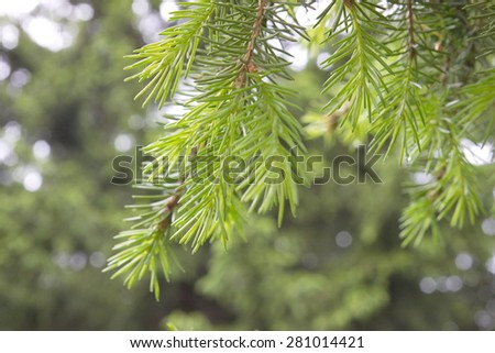 fresh shoots on a spruce branch.. - stock photo