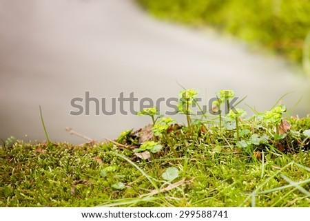 Fresh short stalks of flowers on mossy stone at mountain stream - stock photo