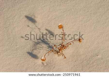 Fresh snow on this dead plant and on the ground.  The plant casts a nice shadow from the winter sun.  Plenty of room for your message. - stock photo