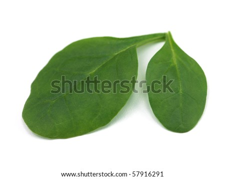 Fresh spinach leaves isolated against a white background