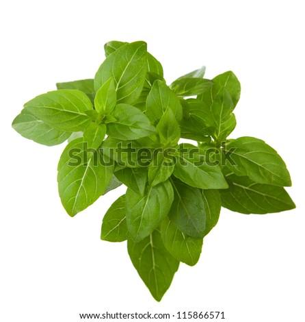 Fresh sprig of basil isolated on white background. - stock photo