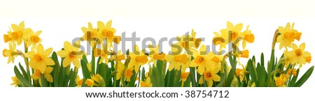 Fresh spring daffodils border isolated on white - stock photo
