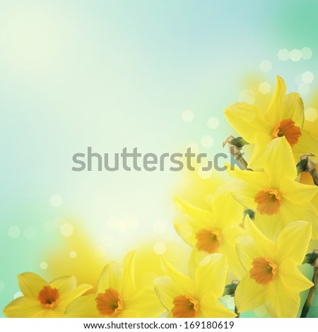 Fresh spring  flowers of daffodils. Floral background. Abstract background with place for text. - stock photo