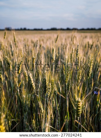 Fresh spring green and yellow wheat field ears. Shallow depth blurred nature background - stock photo
