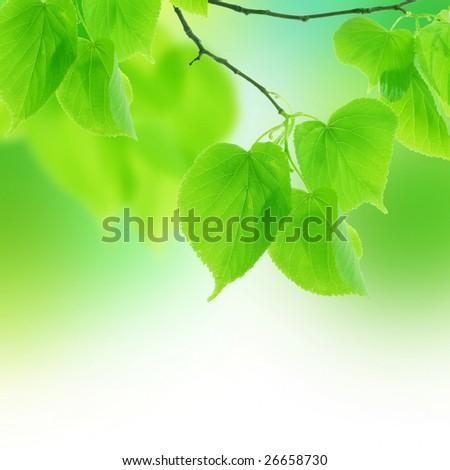 Fresh Spring Leaves - stock photo