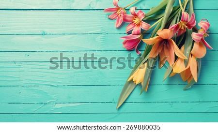 Fresh  spring red tulips flowers  on turquoise  painted wooden planks. Selective focus. Place for text. Toned image.  - stock photo