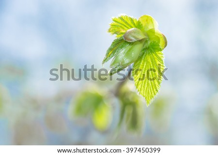 Fresh spring sprouting leaves and buds on blossoming twig against blue sky blurred background. Close-up photo with shallow DOF and selective focus point. - stock photo